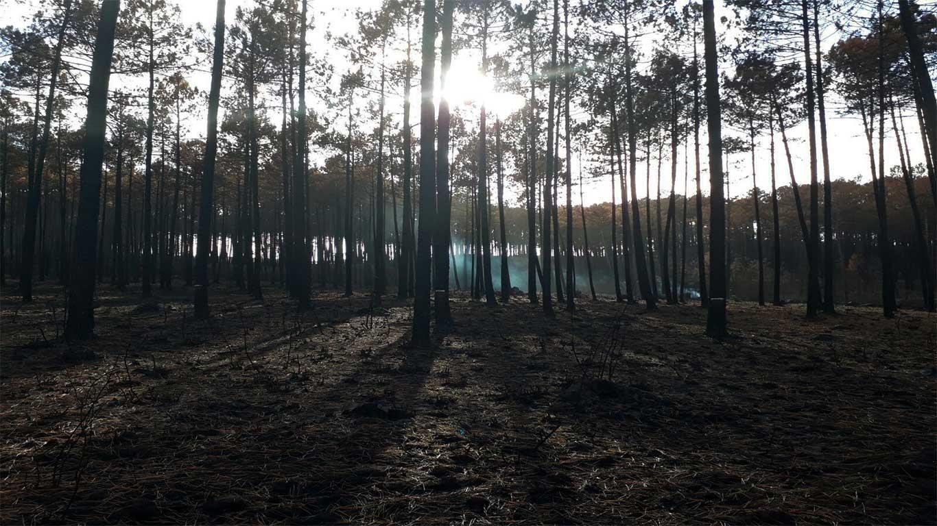 Área ardida do pinhal, com pequenos vestígios de fumo entre as árvores.