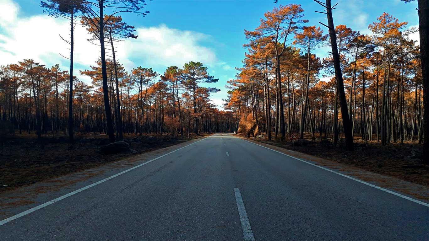 Estrada deserta, entre pinheiros afectados juntos à berma.