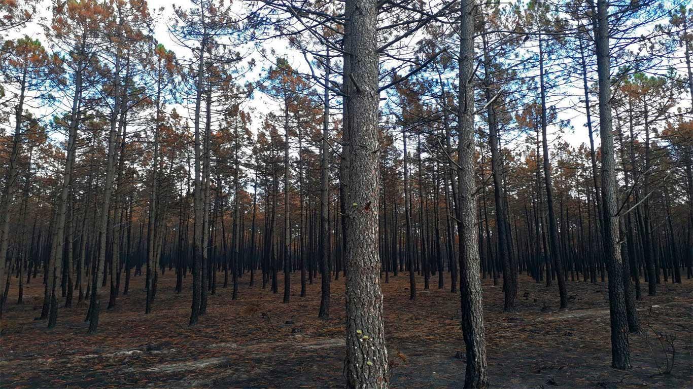 Pinheiros despidos devido à intensidade das chamas.