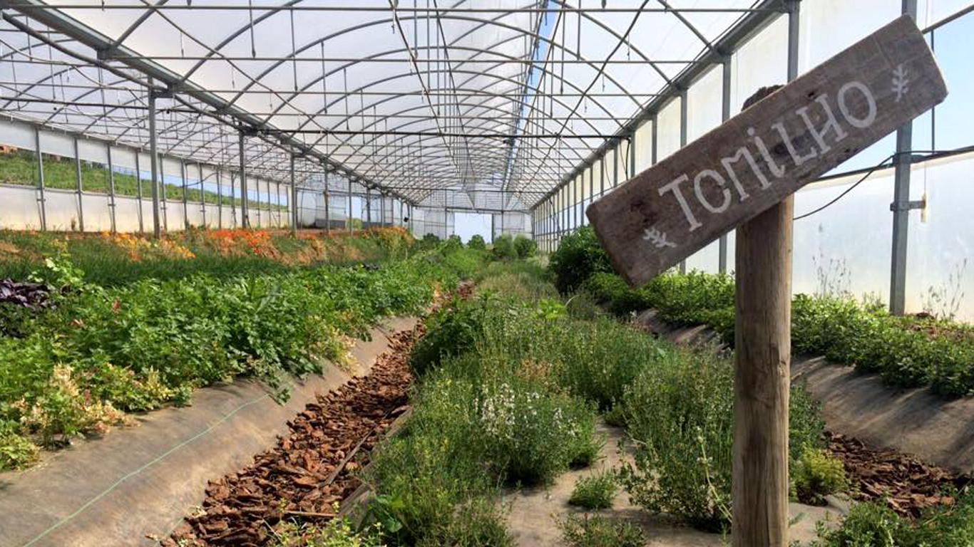 Plantação de Tomilho na Quinta do Arneiro