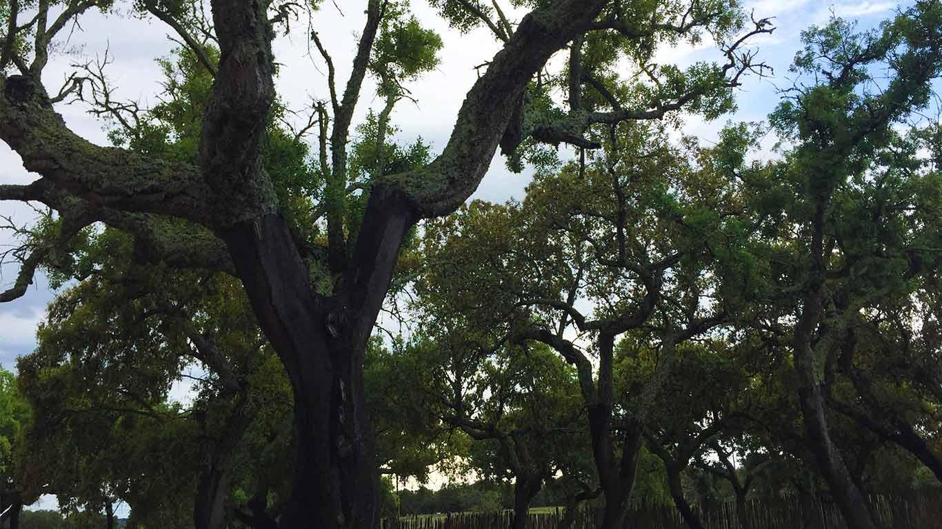 Árvore Sobreiro