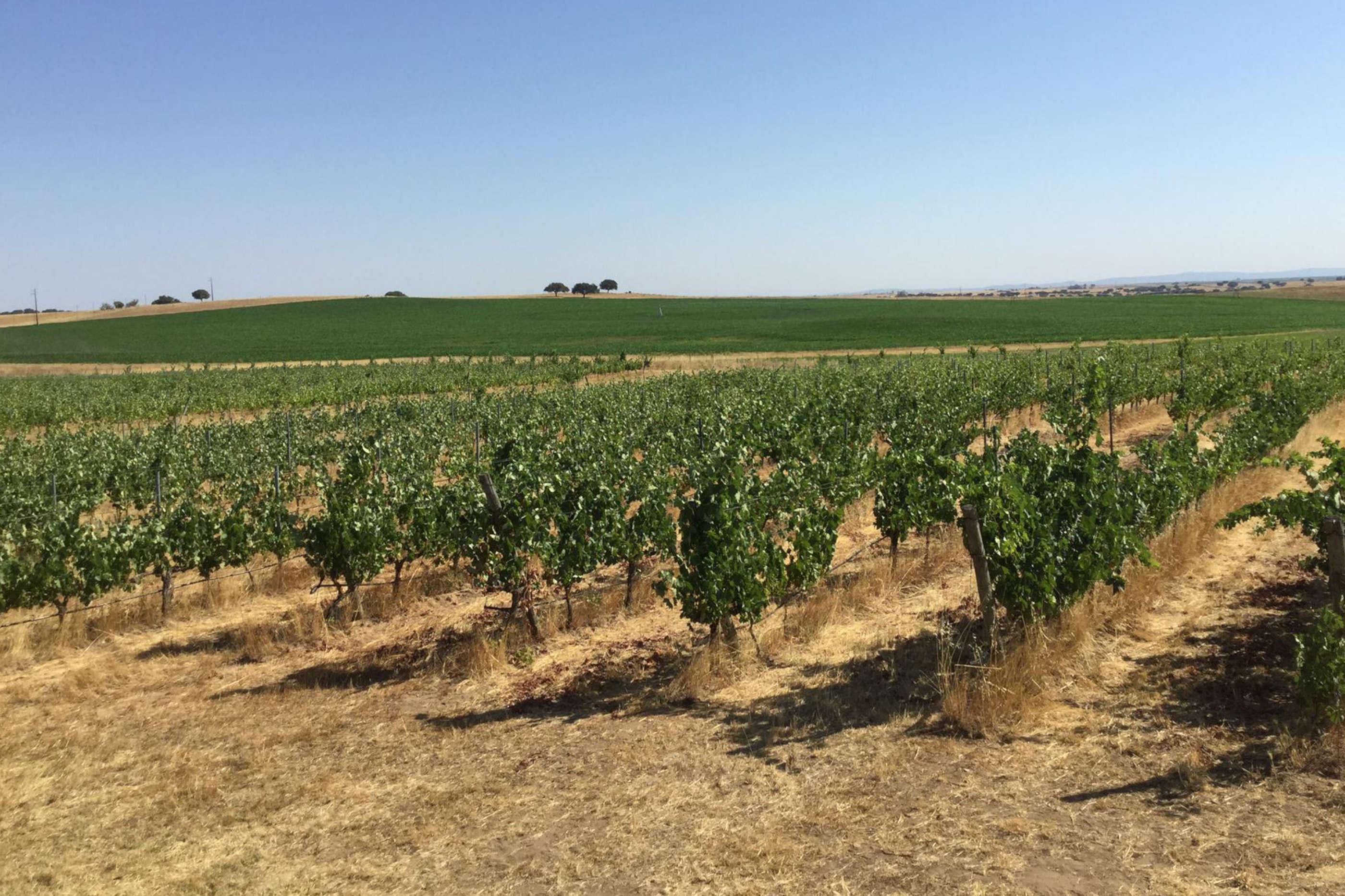 Vastos campos de vinhas verdes em terrenos de produção de Paulo Laureano Vinus, plantadas nos sólos quentes e de cor seca do Alentejo.