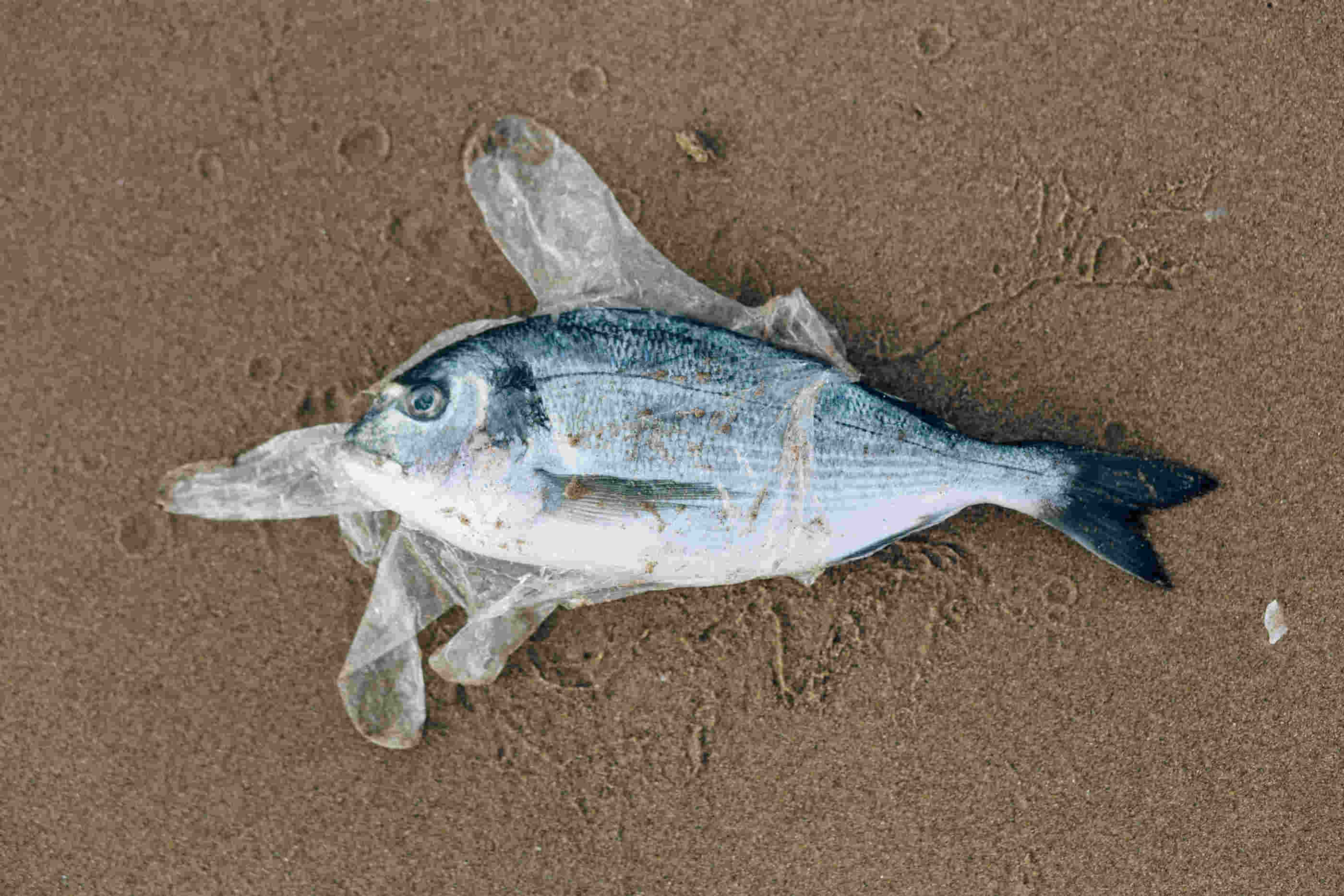 Peixe na areia morto envolto em plástico