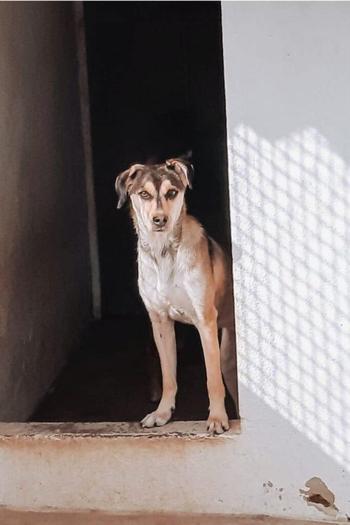 Cadela branca e cinzenta à porta.