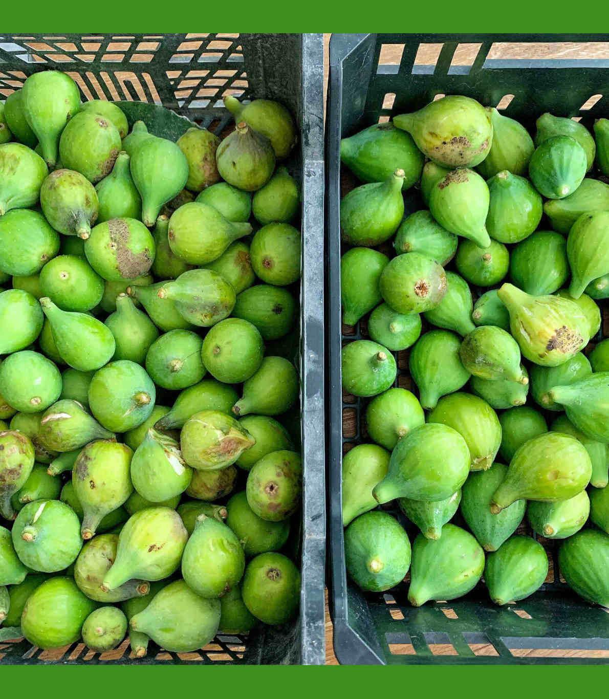 Duas caixas cheias de figos verdes acabados de apanhar.